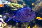A Coral Reef Fish Of Blue Tang (acanthurus Coeruleus), A Surgeonfish With Other Names Such As Atlant poster