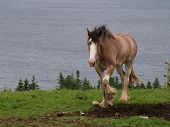 picture of clydesdale  - A young draft horse in rural Canada - JPG