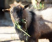 One Big Goat Eating Grass On Early Morning, Domestic Animal Outdoors, Domestic Goat Close Up. Portra poster