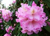 Closeup Blooming Rhododendron In The Spring Garden. Season Of Flowering Rhododendrons, Spring Backgr poster