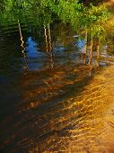 foto of sand lilies  - in clean water is reflected group pine on river bottom sand - JPG
