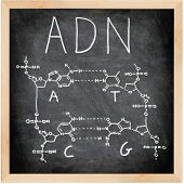 ADN, DNA in Spanish, French and Portuguese written on blackboard with chalk. Chemical structure of D