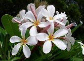 picture of white flower  - white flowers on a plantation in maui - JPG