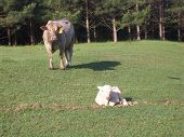 picture of charolais  - This is a photo of a Charolais - JPG