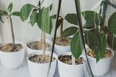 Group Of Small Frangipani Plants In Pots Into A Greenhouse Indoor, poster