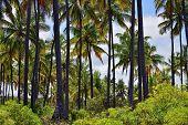 Palm Trees Grove, Paje, Zanzibar, Tanzania. Zanzibar Scenery poster