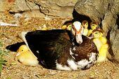 Scene Duck Chicks
