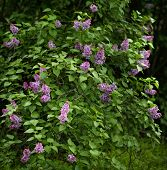 Picture Of Purple Lilac Bloom Flowers In Spring. Cover With Springtime Theme. Botanical Garden. Alle poster