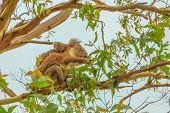 Koala With Joey On Back. Great Otway National Park Along Great Ocean Road, Victoria, Australia. Mars poster