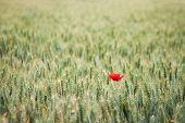 Lonely Poppy In A Wheat Field