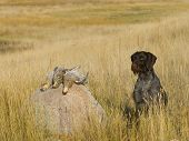 Dog with Grouse