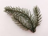 Beautiful Neat Twig Of Spruce On A White Background. Close-up Photo. Top View. Pattern With Spruce B poster