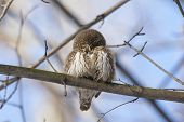 Eurasian Pygmy Owl, Tiny And Very Cute Nocturnal Predator Bird, Sitting On Branch Close-up Whith Blu poster