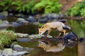 Young Red Fox (vulpes Vulpes) Sneaks Near Water After Prey In Forest. The Fox Is Reflected On The Su poster