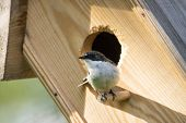 European Pied Flycatcher Male In Hole Of Birdhouse. Cute Little Black White Songbird Living In Woode poster