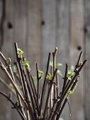 Propagation Of Grapes By Cuttings. Cuttings. Green Sprouted Buds On Cuttings On An Ancient Wooden Na poster