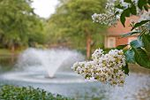 pic of crepe myrtle  - A fountain in a lake past a white crepe myrtle - JPG