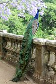 Peacock On A Fence