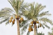 Date palm tree with clusters of kimri dates