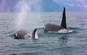 Selective Focus. The Pair Of Transient Killer Whales Travel Through The Waters Of Avacha Bay, Kamcha poster