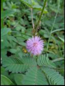 Mimosa Pudica, Also Called Sensitive Plant, Sleepy Plant, Action Plant, Touch-me-not, Shameplant, Zo poster