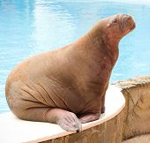A large walrus lying on the blue pool