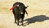 Spanish bull. Bullfight. Animal of great strength and nobility