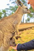 Man Feed Kangaroo With Joey From Hand Outdoor. Encounter With Australian Marsupial Animal In Austral poster