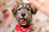 Beautiful Fluffy Puppy In A Red Bow Tie On His Neck. Puppy Happy And Smiling poster
