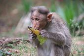 Baby Monkey Sits Eating Fruit, Monkeys Of South India, Cute Eats Food Looking Nervously, Monkey Find poster