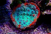 Living Lava Chalice Lps Coral - Pectiniidae Sp. poster