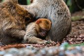 Monkey Family At Sacred Monkey Forest Germany Close Up Monkey Baby Monkey Cute Fluffy Kid Young poster