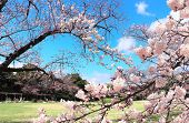 Japanese hanami festival when people enjoy sakura blossom. Cherry blossoming season in Japan. Bloomi poster