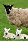 pic of twin baby  - a sheep standing in a field in spring with her new born twins lying down next to her - JPG