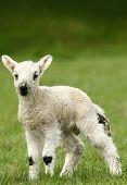 Springtime Lamb