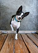 picture of applehead  - a cute chihuahua begging to be picked up - JPG