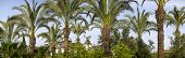 Slender Tall Date Palms Grow In A Palm Grove. Due To The Lush Leaves, The Sky Is Almost Invisible. I poster
