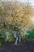 Beautiful Blossoming Cherry Trees In Garden At Sunset. Natural Spring Background, Picturesque Landsc poster