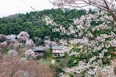Sakura Cherry Blossoms Tree Front Houses In The Hill Village, Sakura Tree Close Up With Green Hill B poster