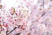 Close Up Sakura Cherry Blossoms Flower Branches  In Pink Color Full Bloom , Good Sakura Background I poster