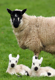 stock photo of twin baby  - a sheep standing in a field in spring with her new born twins lying down next to her - JPG