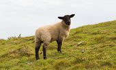 Sheep with black face