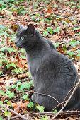 Постер, плакат: Русской голубой кошкой
