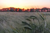 Barley Spica And Field In Sundown