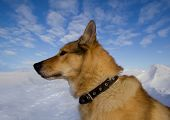 picture of laika  - Portrait of a dog wearing a collar in a profile close - JPG