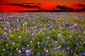 stock photo of bluebonnets  - Bluebonnet field captured at dusk under an orange - JPG