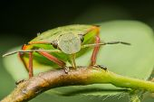 Shield Bug Feeding
