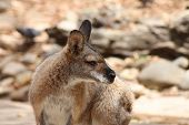 Portrait Of Wallaby Looking To The Right