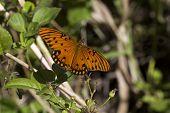 Gulf Fritillary, Everglades N.p. Florida Usa