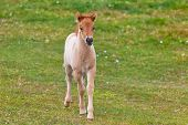 Brown Horse Foal In A Green Field Of Grass.